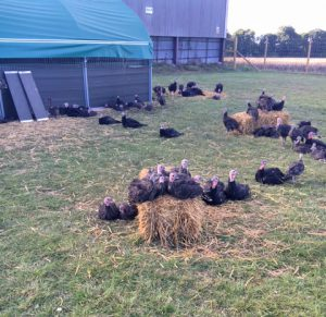 Turkeys perching on a straw bale