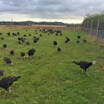 Turkeys in the field
