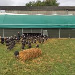 Turkeys emerging from the barn